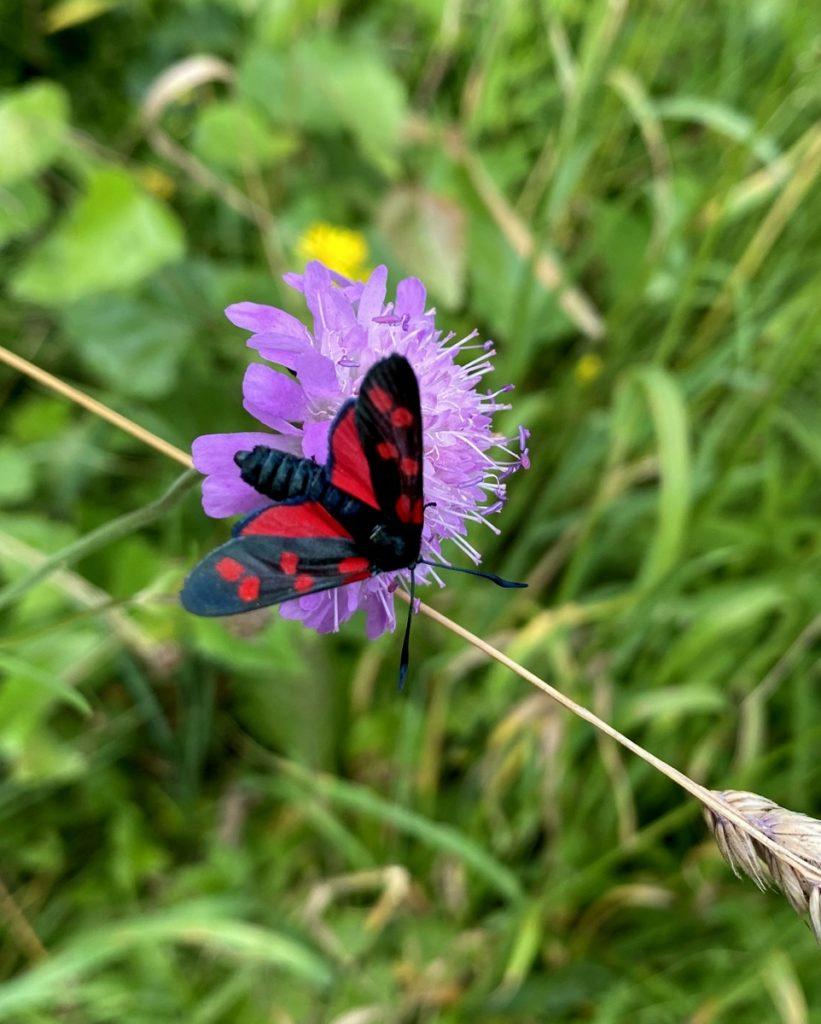 Papillon rouge et noir posé sur une fleur violette